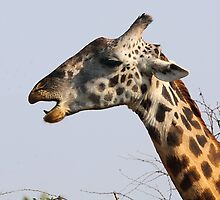 Maasai or Masai, Giraffe, Serengeti, Tanzania  by Carole-Anne