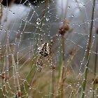 Dew Drops Spider Web by ienemien