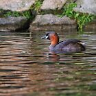 Little Grebe by M.S. Photography/Art