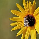 Moth On Sunflower by Lori Peters