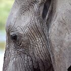 Portrait, African Elephant, Serengeti National Park, Tanzania.  by Carole-Anne