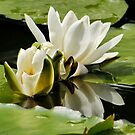 White Waterlily & Reflection by AnnDixon