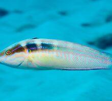 Tailspot Coris, Ningaloo Reef by Erik Schlogl