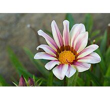 aster in garden Photographic Print