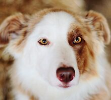 Pip the Border Collie by thegreendogs