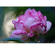 dried rose in the garden Photographic Print