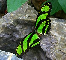 Green butterfly  on Rock by ienemien