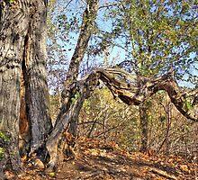 Old Balsam Poplar Tree by Jim Sauchyn