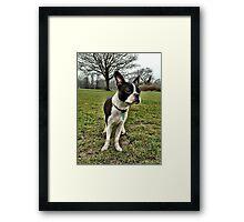 Portrait of Meryl the Boston Terrier II Framed Print