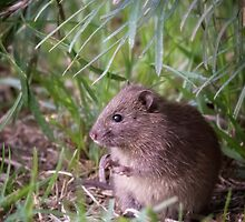 Bush Rat.... by Tracie Louise