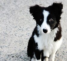 Teddy the Border Collie Puppy by thegreendogs