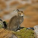The Disdainful Hare by Jamie  Green