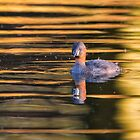 Little Grebe on Golden Pond by M.S. Photography/Art