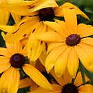 Brown Eyed Susans by Carrie Bonham