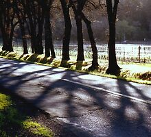 grove of trees on a country road by califpoppy65