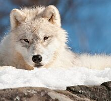 Arctic Wolf Pup by WolvesOnly