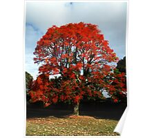 Illawarra Flame Tree - South Rd, Drouin Poster