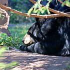 North American Black Bear II by Kathleen Daley