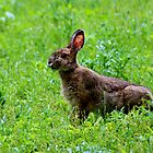 Snowshoe Hare by Kathleen Daley