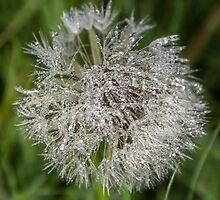 Morning dew on Dandelion clock by Sue Knight