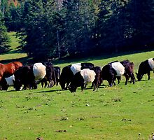 Belted Galloways by Kathleen Daley