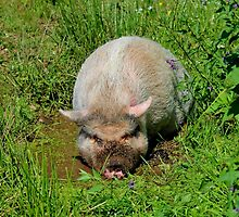 Happy as a Pot-bellied Pig in Mud by Kathleen Daley