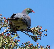 native New Zealand Pigeon........whatever tickles your fancy.....!! by Roy  Massicks