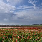 Tulips on the Cape by Karine Radcliffe