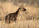 Spotted Hyena, Serengeti National Park, Tanzania. by Carole-Anne