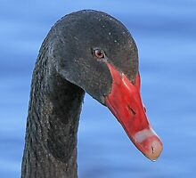 Black Swan by CovePicsTas