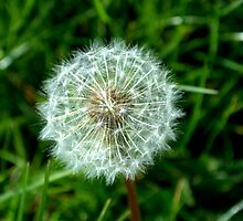 dandelion close up by Buzz1061