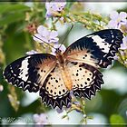 Leopard Lacewing (Female) by DonMc