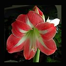 Pink Amaryllis by Barry Doherty