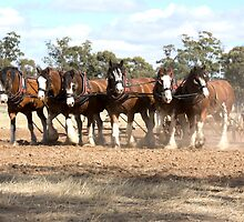 Beautiful Clydesdale Team.... ploughing ..... by mitpjenkeating