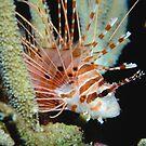 Spotfin Lionfish by Erik Schlogl
