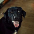 happy black lab by Savannah Regier