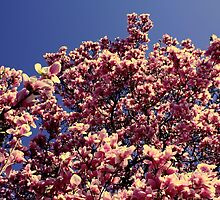 Cherry blossoms II by EmiMills