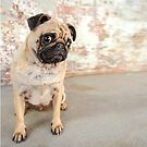 Sushi the Pug by ruthlessphotos
