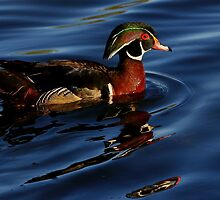 Wood Duck #4  by Kane Slater