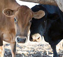 Peekaboo....Its Us... Bull & His Cow. by mitpjenkeating