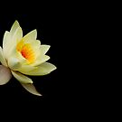 Yellow Water Lily by Rebecca Cozart