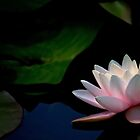 Pink Water Lily by Rebecca Cozart