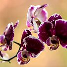 Purple Moth Orchid by Elana Bailey