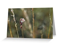 Brown Argus butterfly Greeting Card