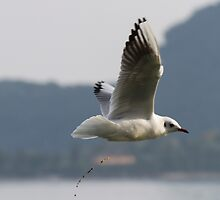 seagull flying over the lake while evacuating by spetenfia