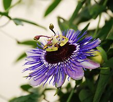 Purple Haze Passiflora by jojobob