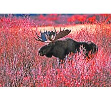 BULL MOOSE,YELLOWSTONE NP Photographic Print