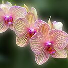 Three Orchids by cclaude