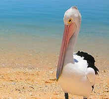 Pelican Pose by Nicola Morgan