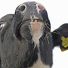 A Cow's Nose by Furtographic